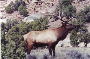 Trophy Rocky Mountain Elk