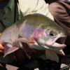 Large Rainbow Trout Head Shot