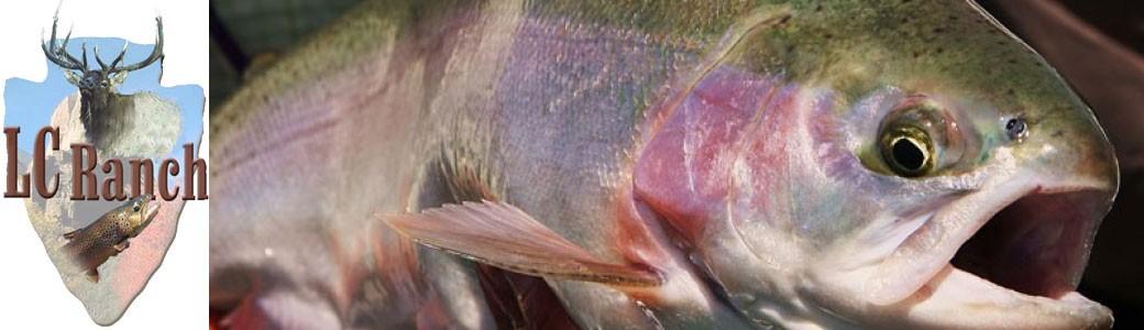 Rainbow Trout Closeup